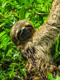 Santa Rosa de Yacuma - A friendly sloth I saw in the Pampas wet lands. It was slooowww..