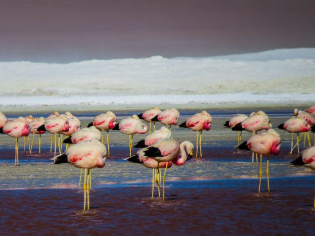 Uyuni - Some of the flamingos that didn't migrate to the warmer south.