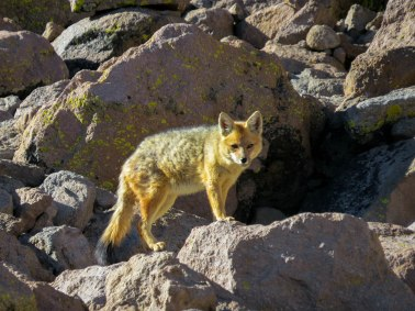 Chachani Mountain - The fox that was sneaking around our camp