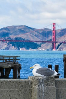 California - A quite relaxed seagull in front of the Golden Gate Bridge in San Francisco.
