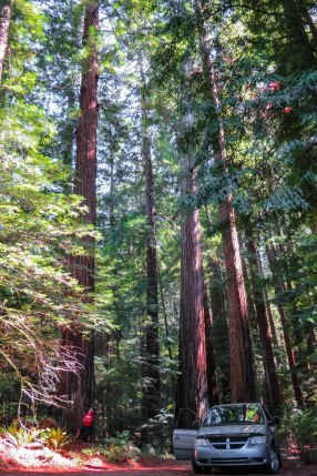 California - The impressive Redwoods towering over streets and trails. These trees are the tallest trees in the world and can grow over a hundred meters high and get more than 2000 years old.
