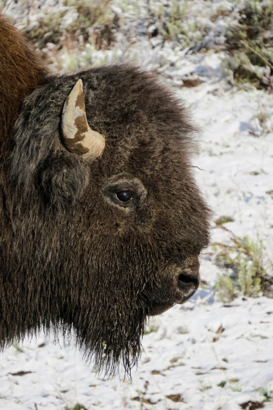 Wyoming - A bison up close. Not the prettiest fellow but impressive nonetheless.