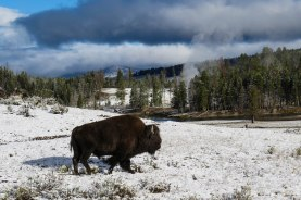 Wyoming - A bison with one of the many steaming geysers in the back ground in Yellowstone National Park.