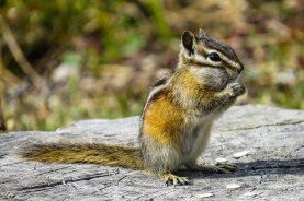 Colorado - One of the ubiquitous chipmunks. Always fun to watch.