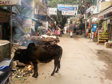 Just a random street cow warming up next to a fire.